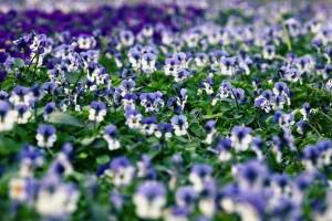 pansies field images hd