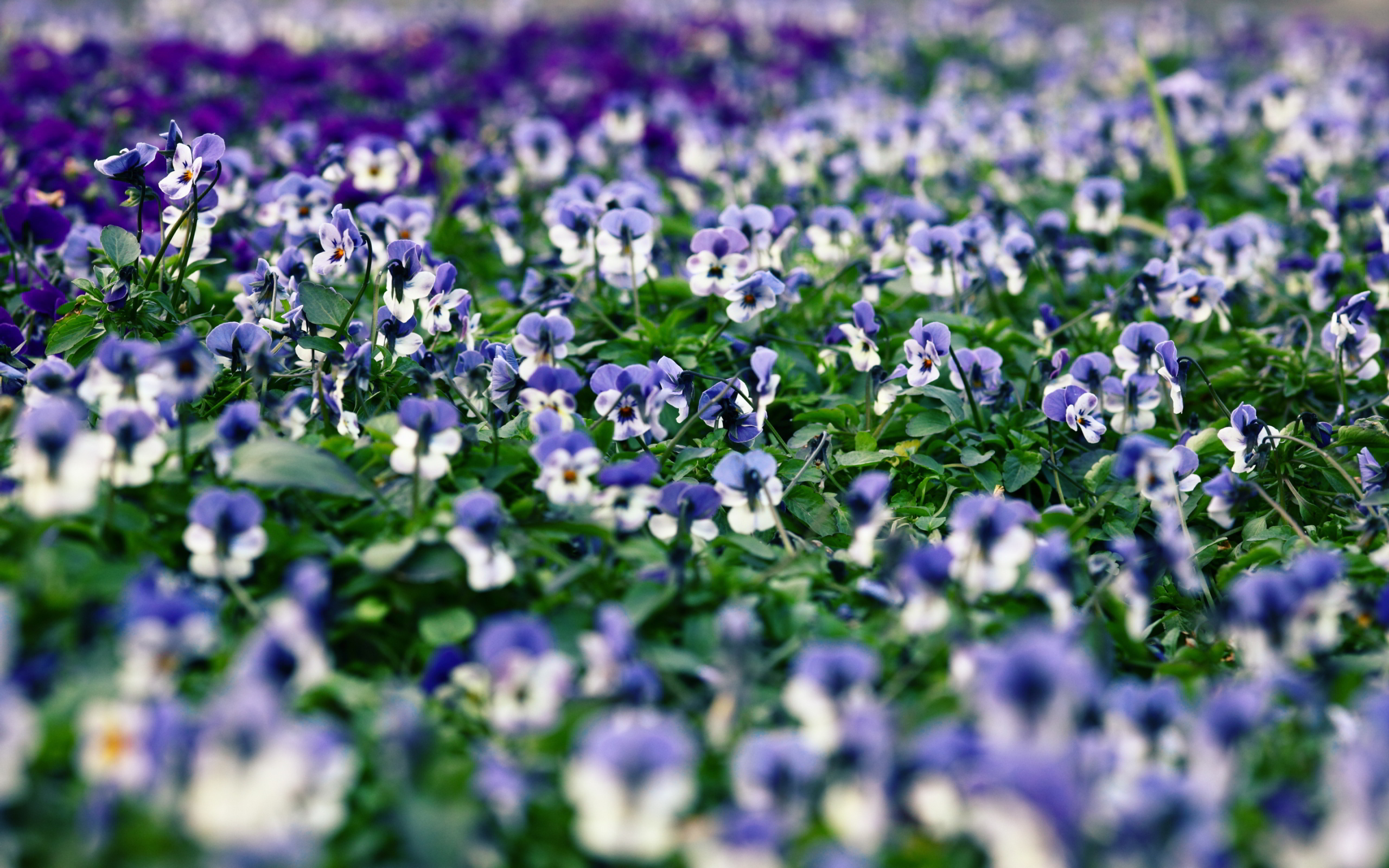 pansies field images hd
