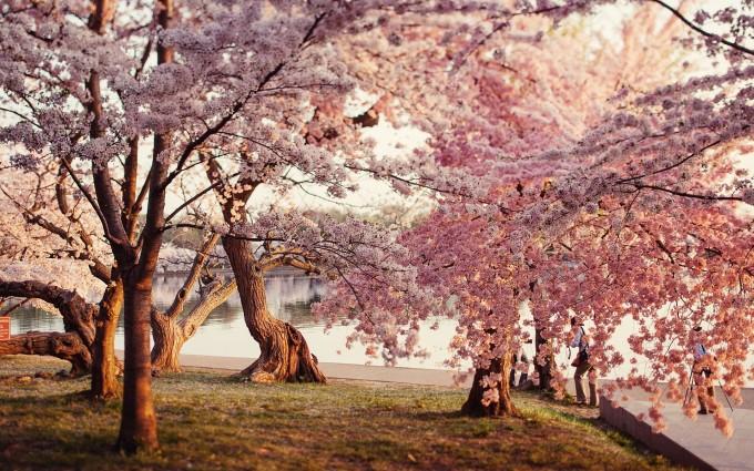 park wallpaper cherry