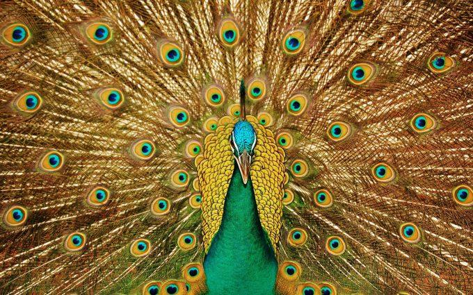 peacock bird wallpaper