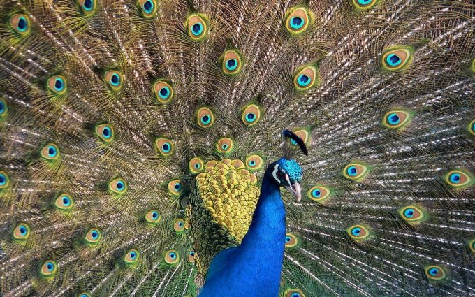 peacock picture hd