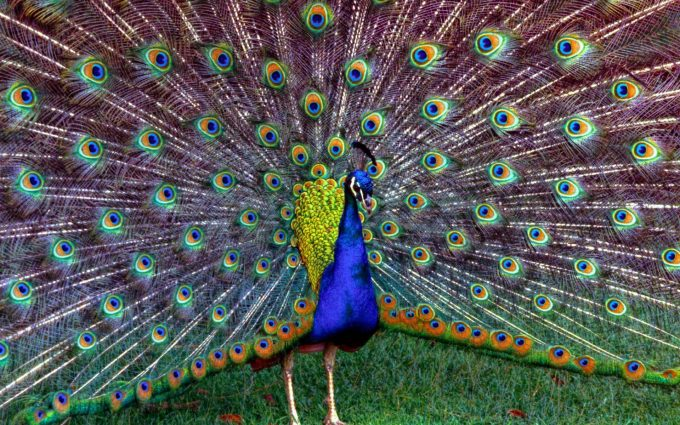 peacock pictures