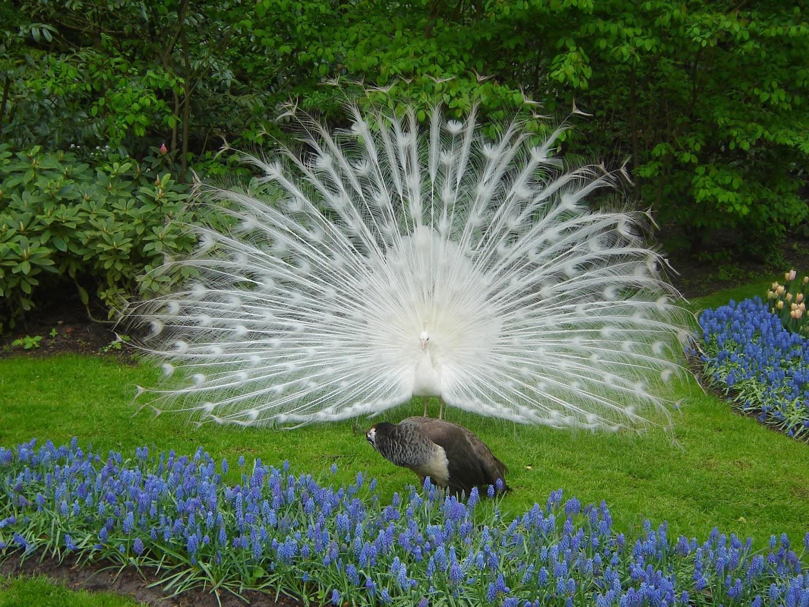 peacock wallpaper white