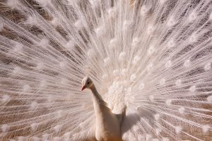 peacock wallpapers white hd