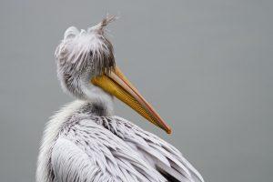 pelican desktop backgrounds