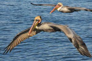 pelican wallpaper 1080p