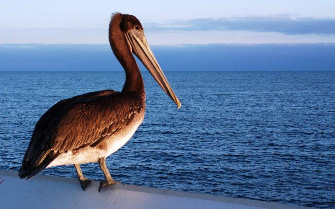 pelican wallpaper hd
