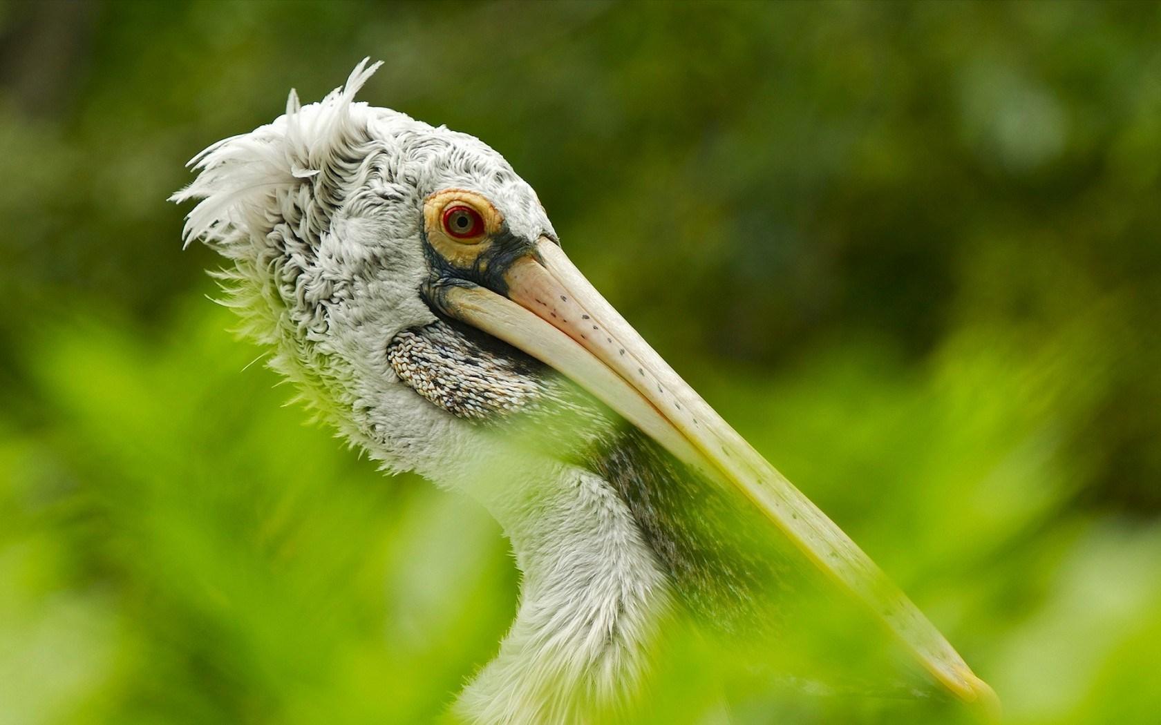 pelican wallpaper nature