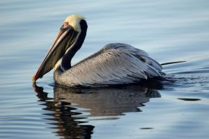 pelican wallpapers bird