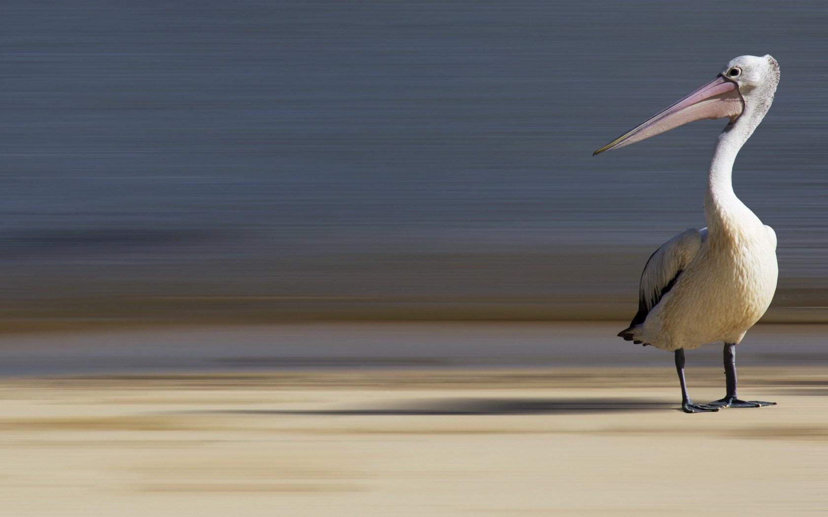 pelican wallpapers hd
