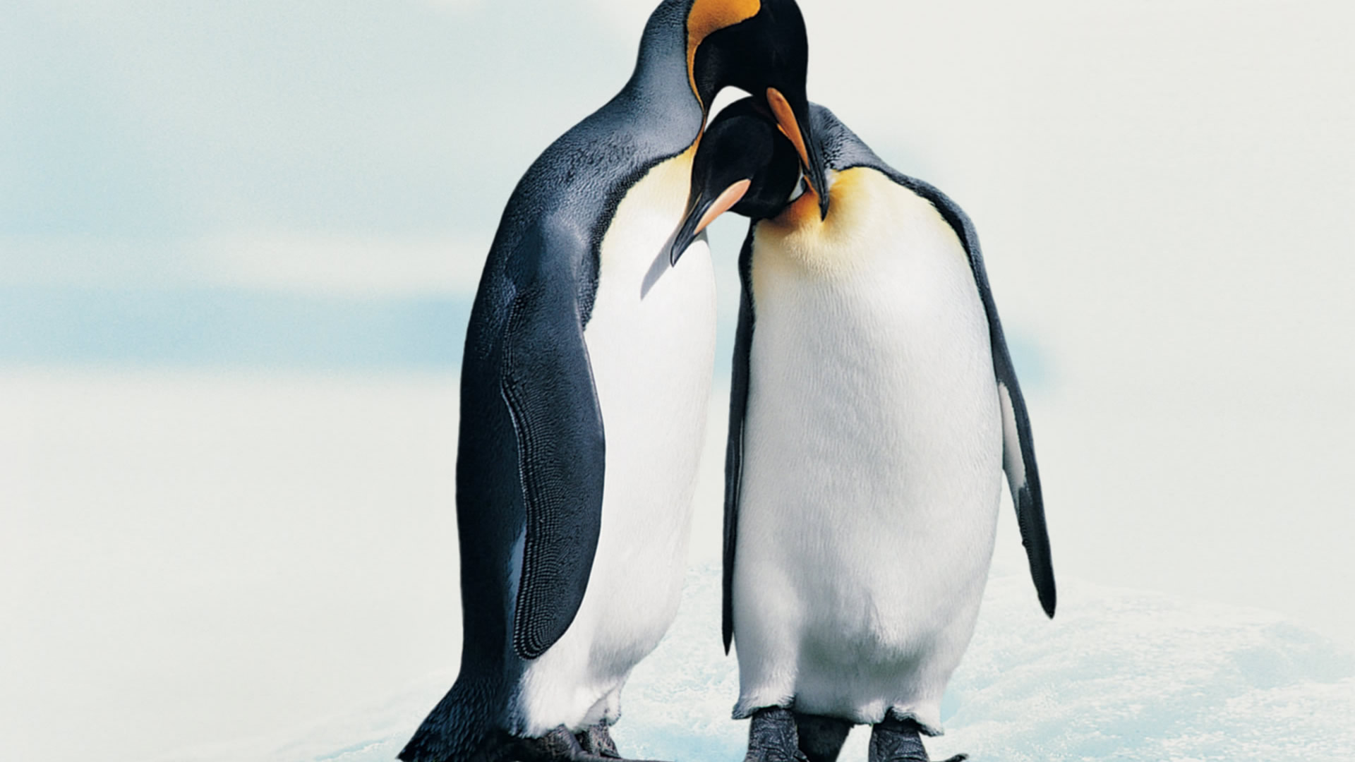 penguin picture hd