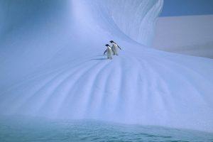 Adelie Penguin (Pygoscelis adeliae) pair on iceberg, Antarctica