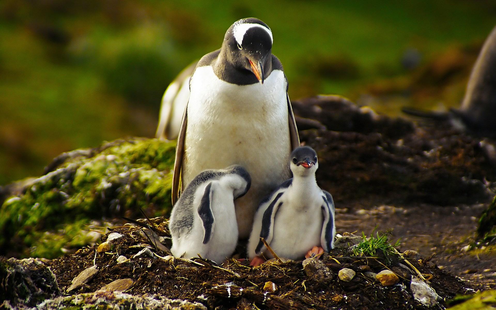 penguin wallpaper nest