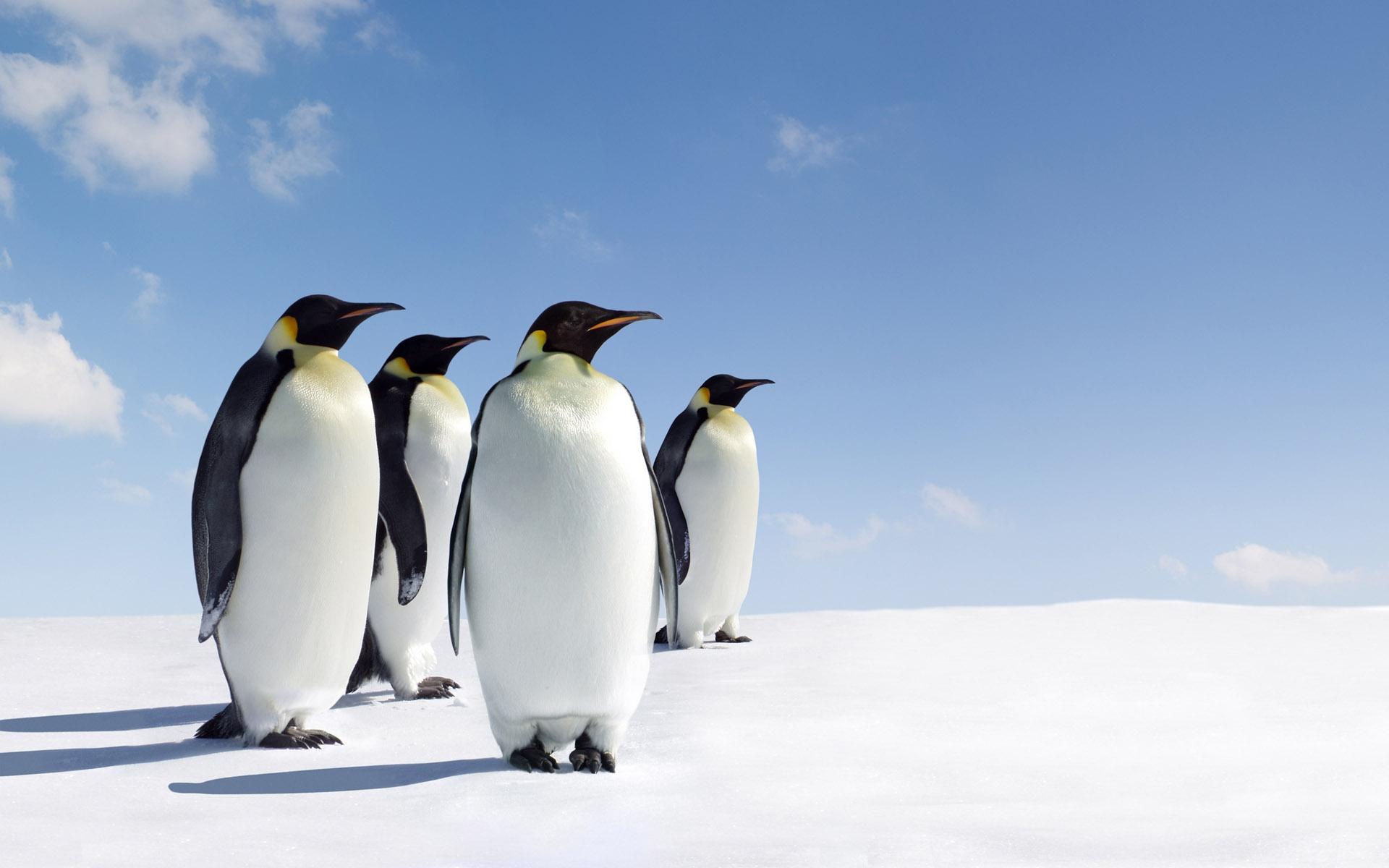 penguin wallpaper snow