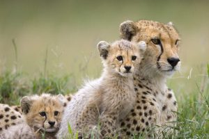 photo of cheetah