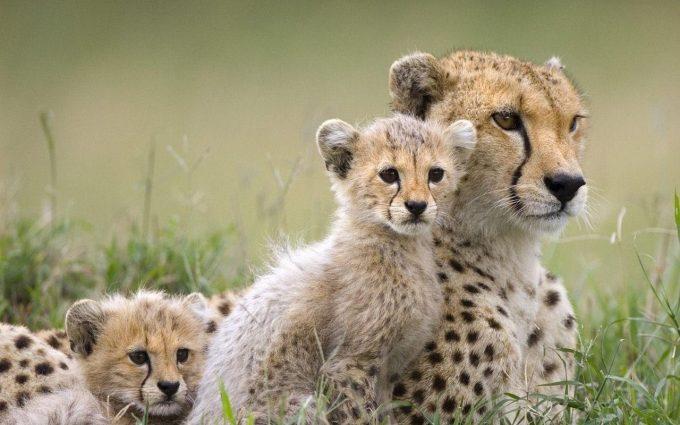 photo of cheetah