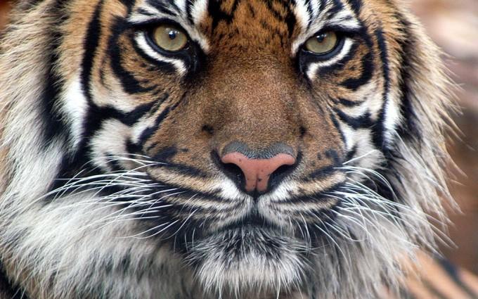 photos of tigers