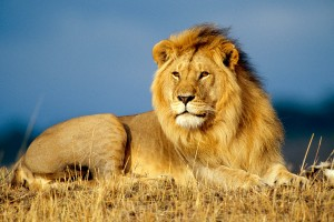 pic of lion
