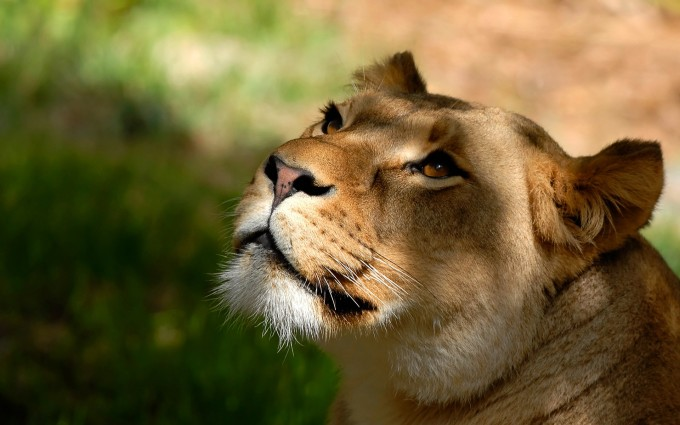 pics of a lioness