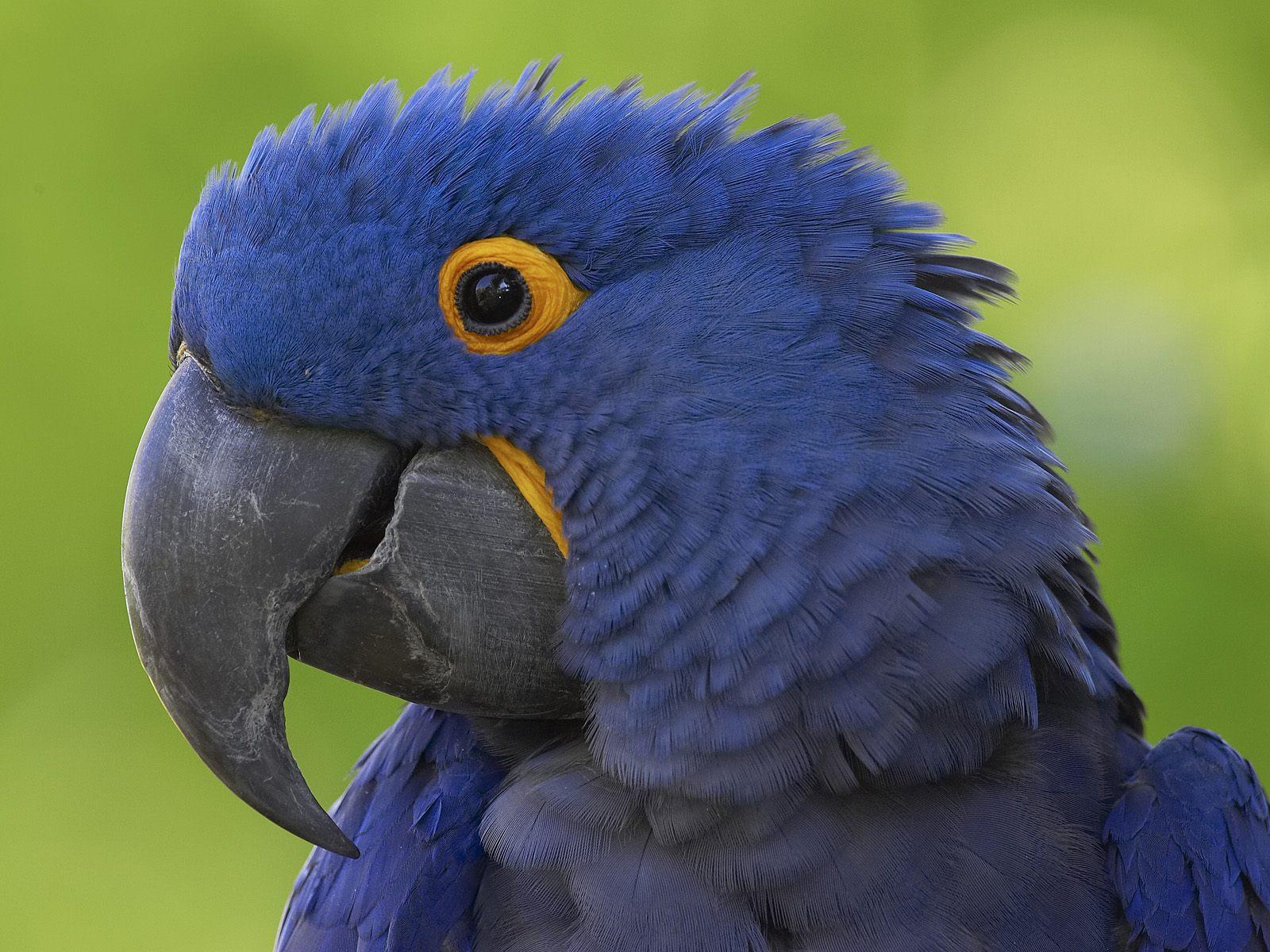 pics of blue macaws