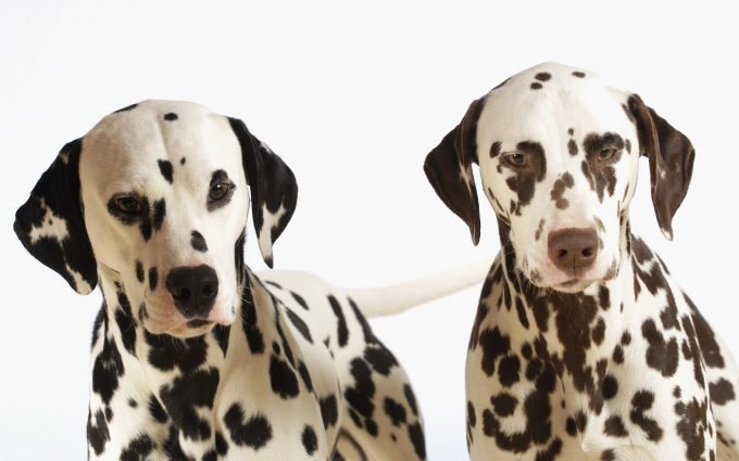 pics of dalmatian dogs