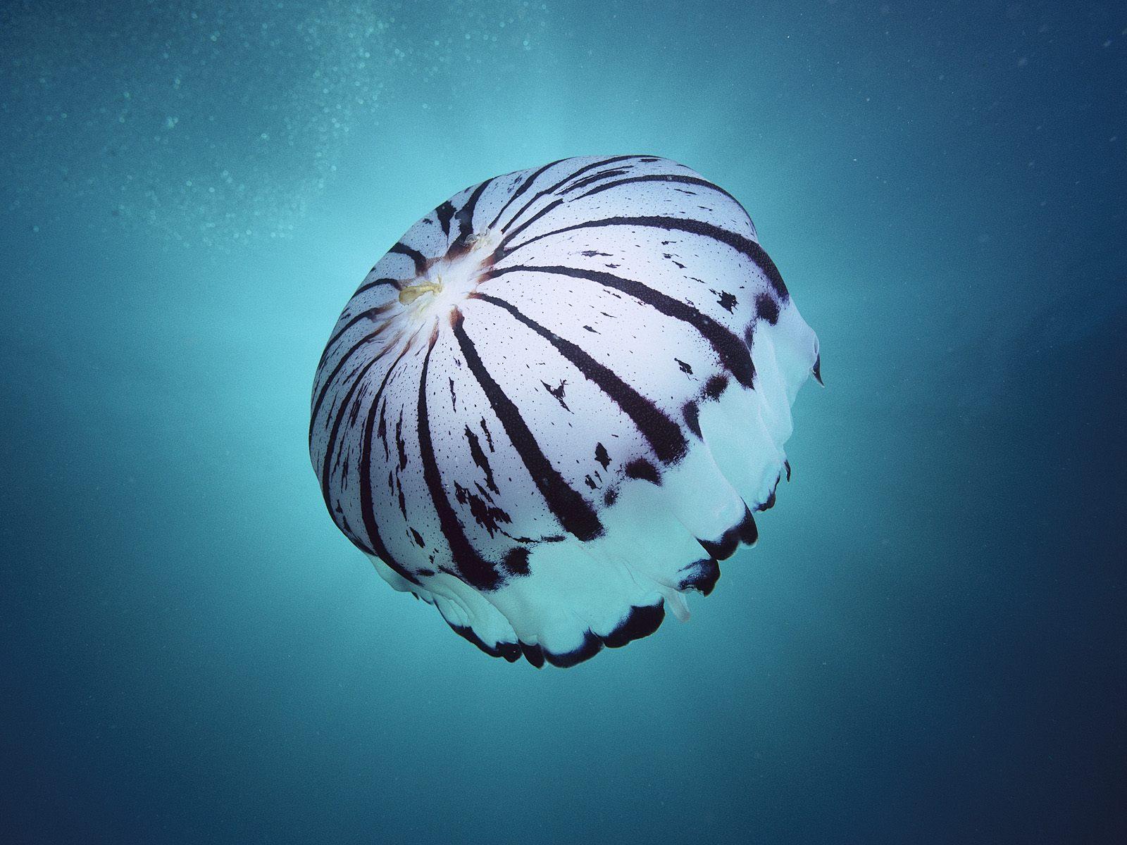 pics of jelly fish