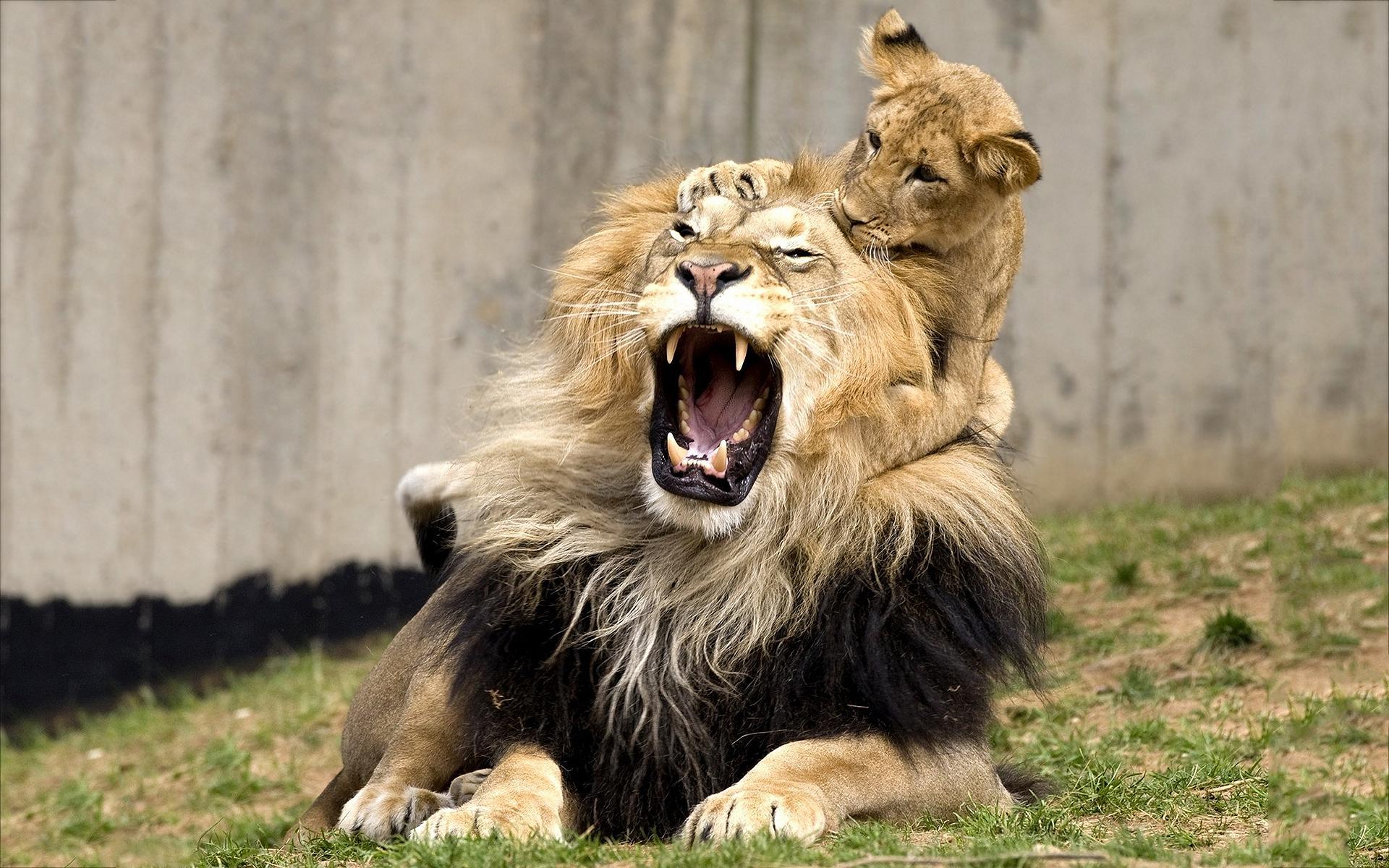 pics of lions