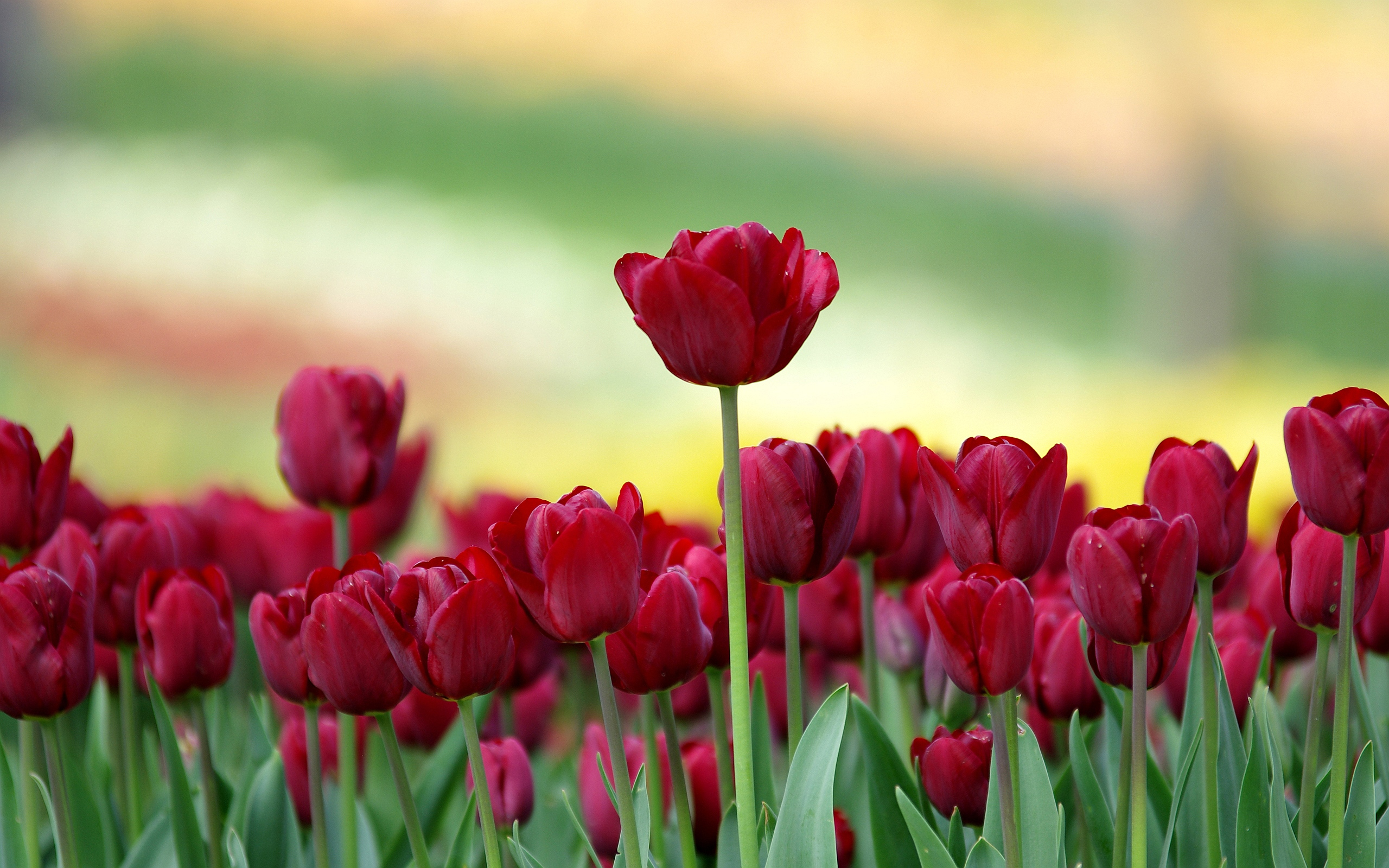 picture of a tulip