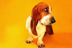 picture of basset hound