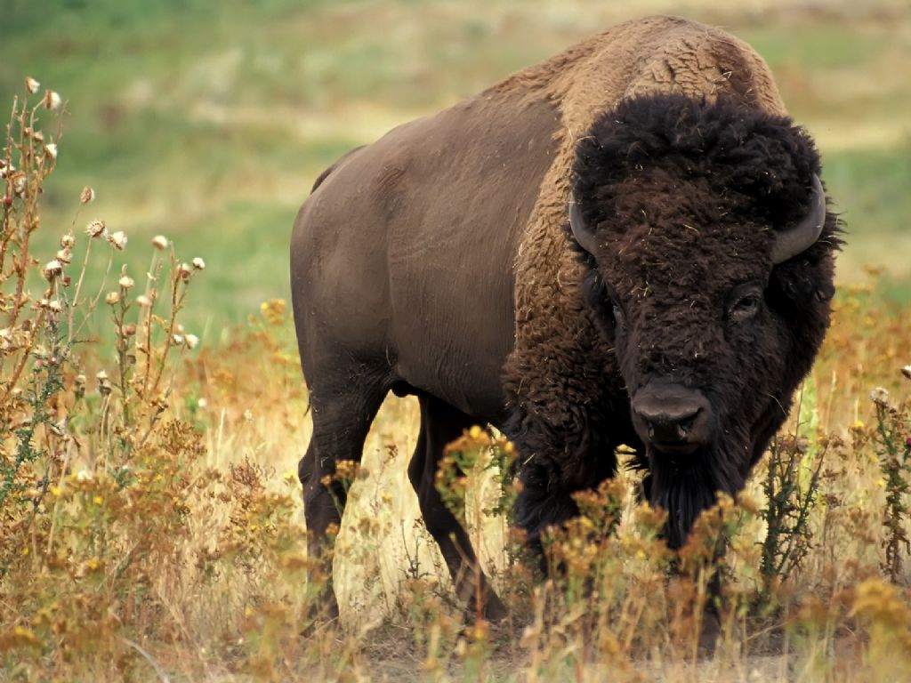 picture of bison