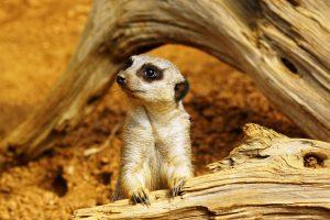 picture of meerkat