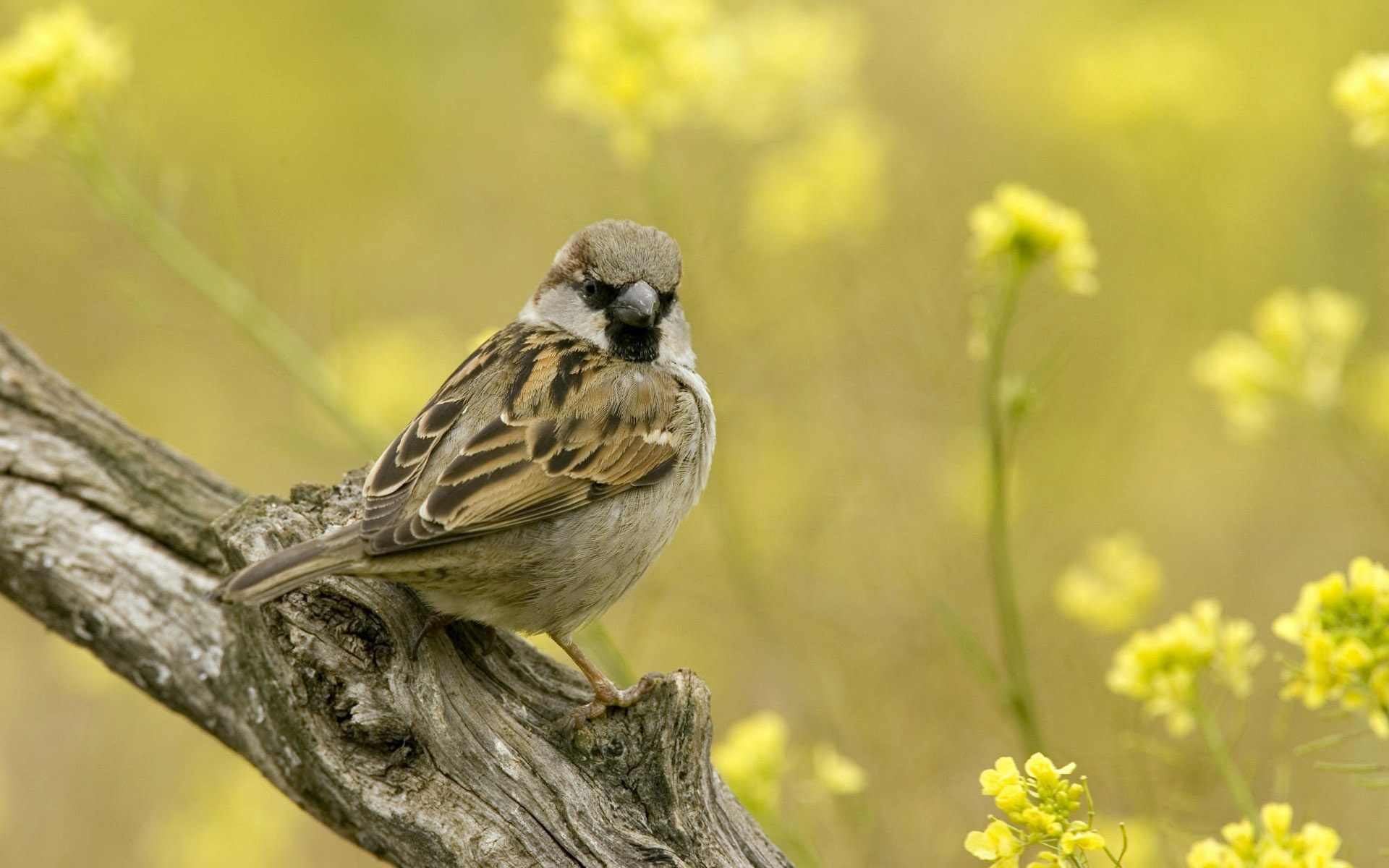 picture of sparrow