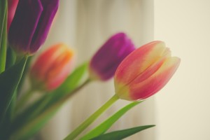 picture of tulip flower macro