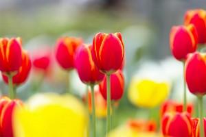 picture of tulip tree