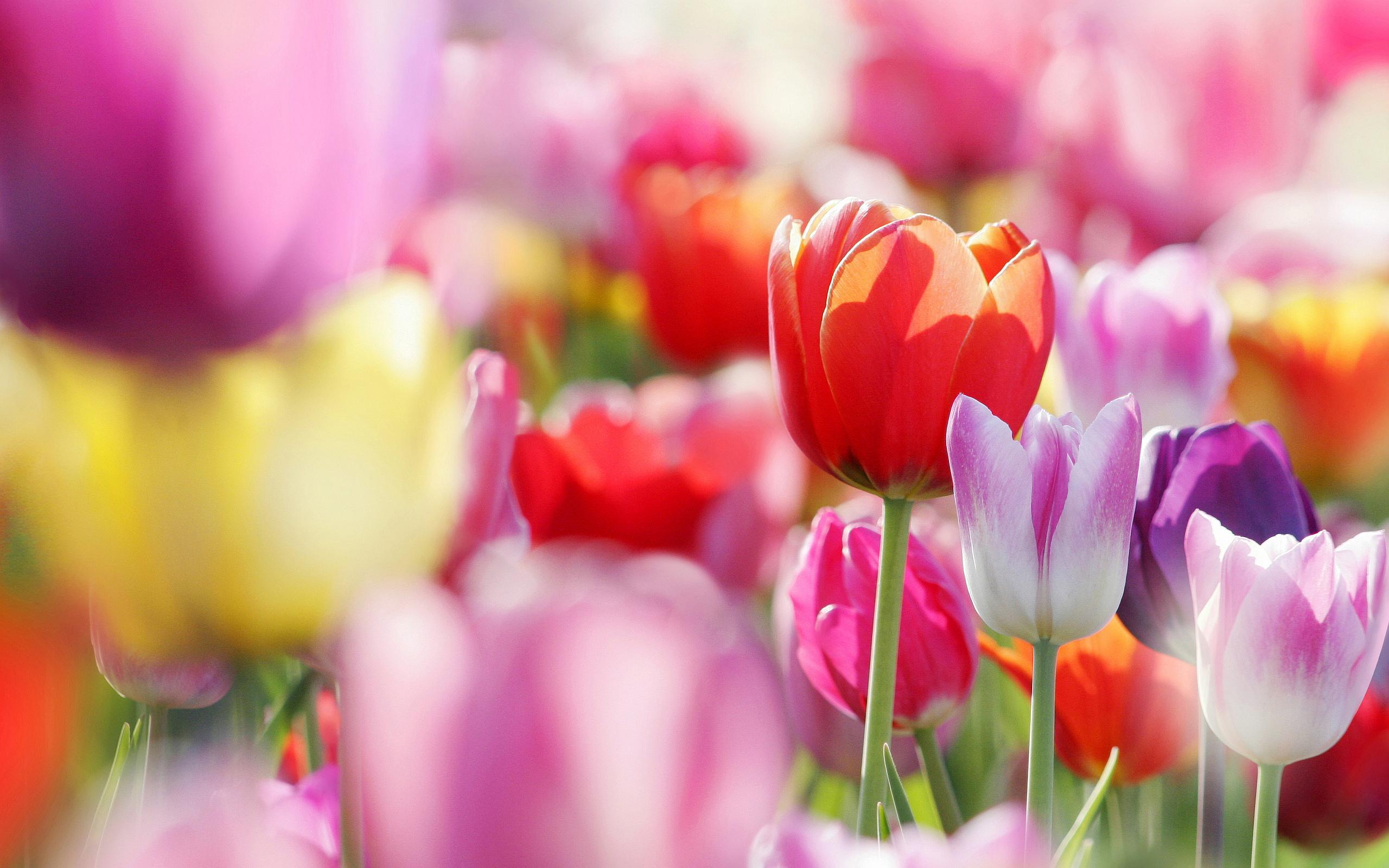 picture of tulip