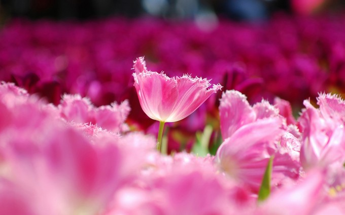 picture of tulips pink