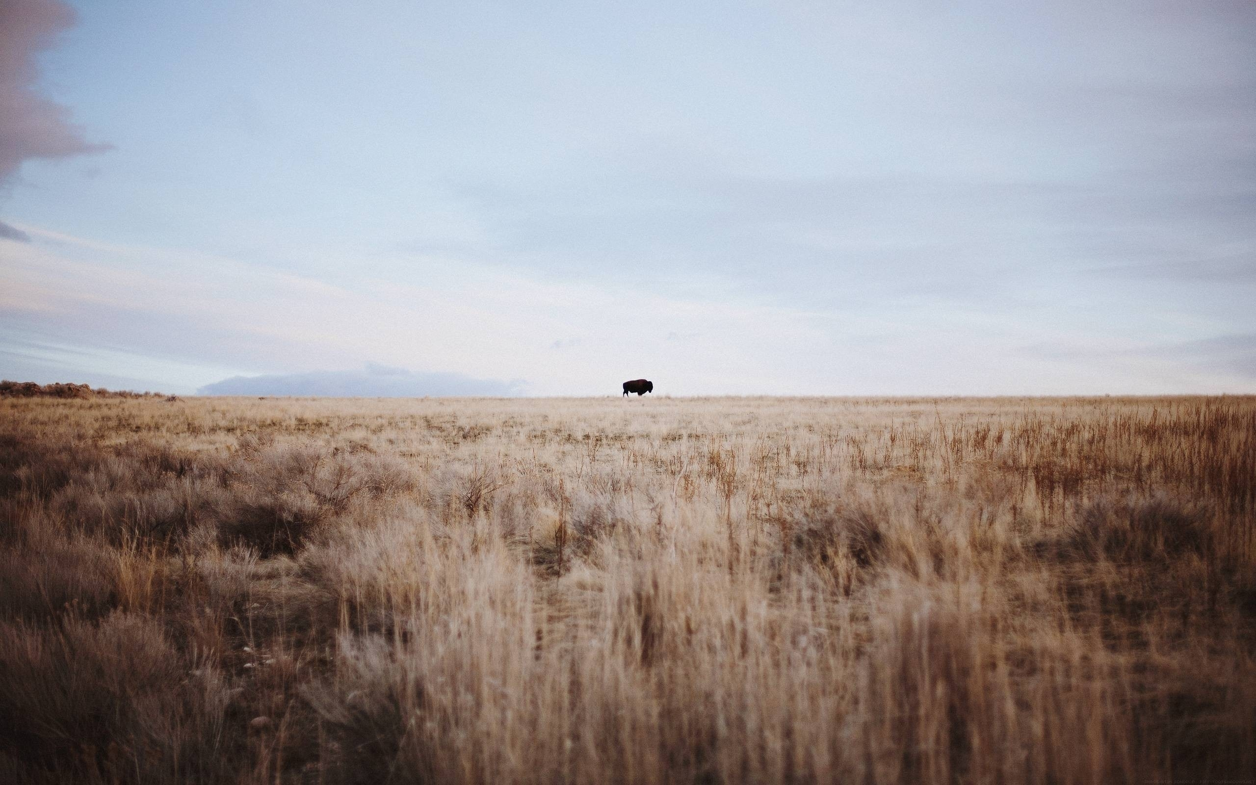 pictures of bison