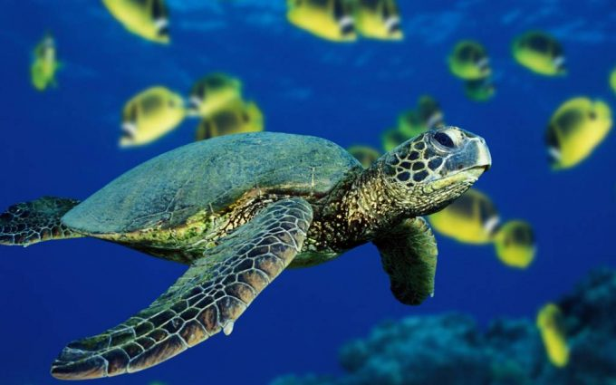 pictures of cartoon sea turtles
