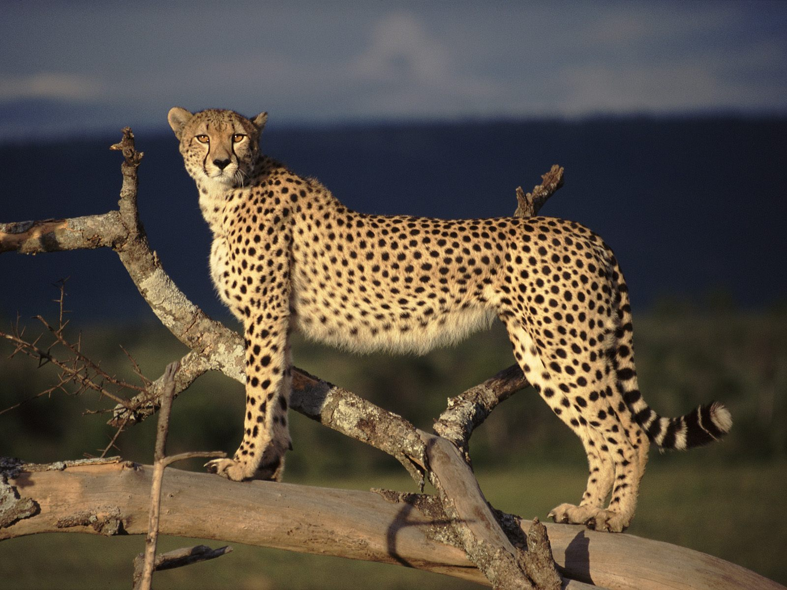 pictures of cheetahs running