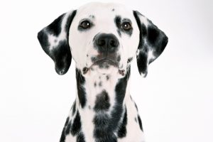 pictures of dalmatian dogs