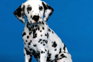 pictures of dalmatian puppies