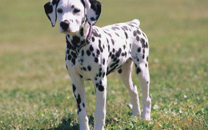 pictures of dalmatians