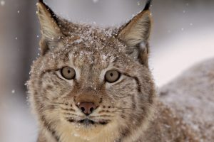 pictures of lynx cats