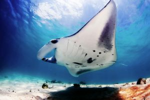 pictures of manta ray
