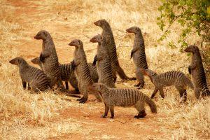 pictures of meerkats