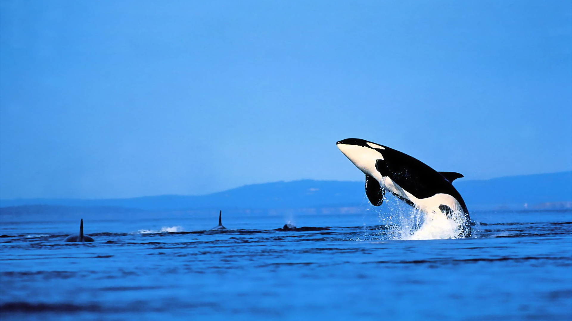 pictures of orca whales