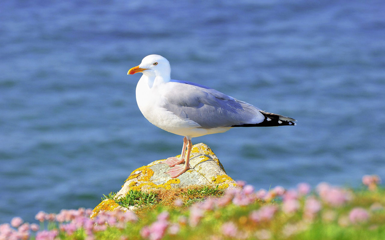 pictures of seagulls
