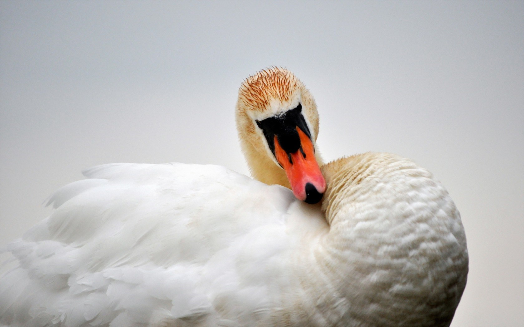pictures of swans