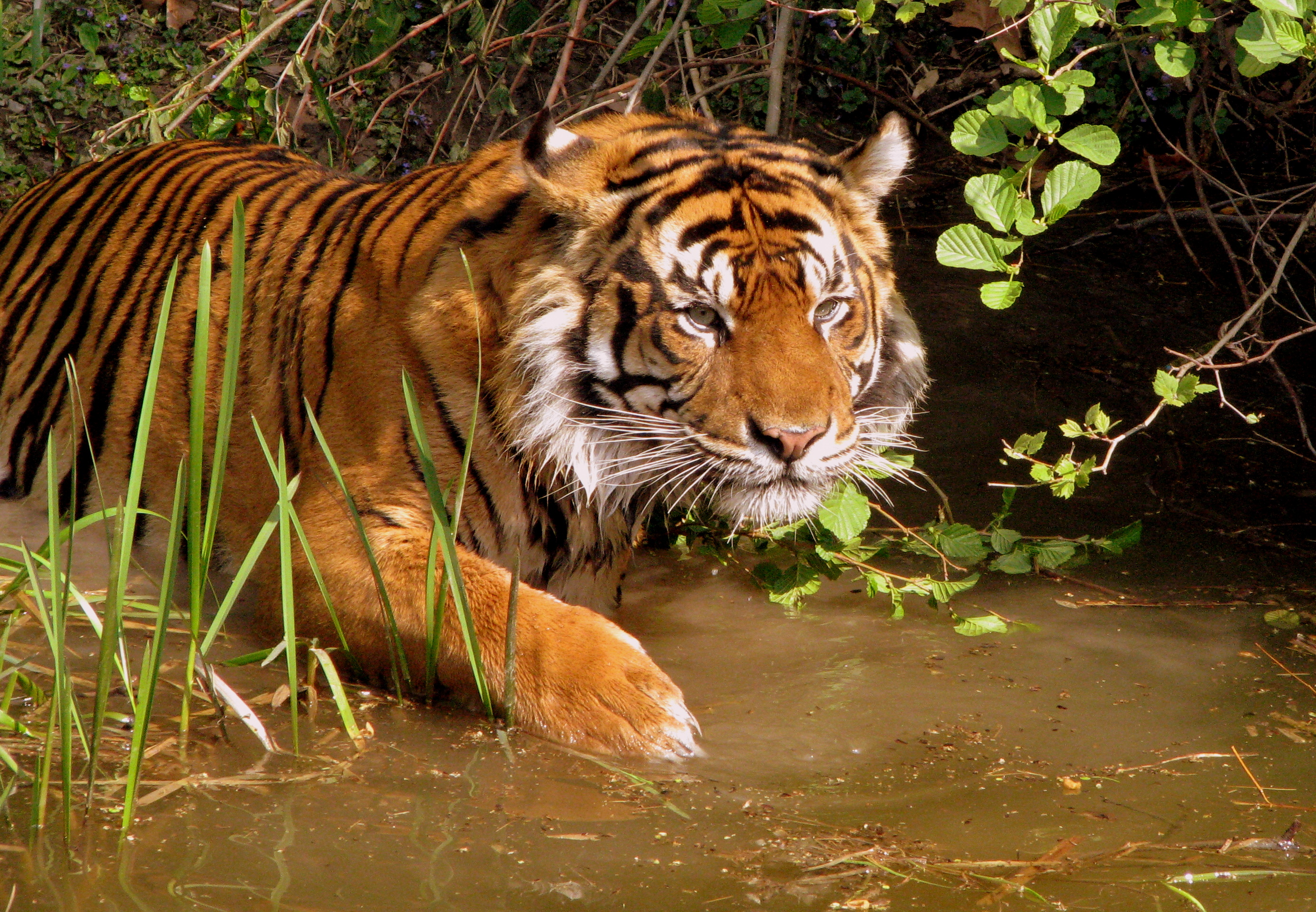 pictures of tigers in the wild