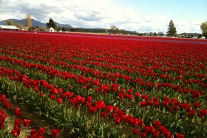 pictures of tulips red